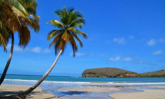 palm tree on the beach in grenada